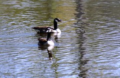 Hello!  I'm still talking here! (ChicaD58) Tags: dscf7545a canadageese couple imstilltalkinghere lake ripples reflections arboretum spring