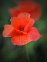 Il.lusions (jocsdellum) Tags: flor flower pupuruput amapola rojo red ilusions poppy vermell