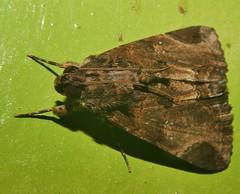 Pale sooty moth Ercheia sp Catocalinae Erebidae Airlie Beach rainforest P1480731 (Steve & Alison1) Tags: pale sooty moth ercheia sp catocalinae erebidae airlie beach rainforest
