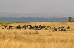 4-africanbuffalo-5063 (h.redpoll) Tags: africanbuffalo murchisonfallsnationalpark uganda