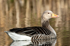 Greylag goose in the evening sun (crub2016) Tags: grågås greylaggoose