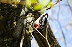 Woodpecker (Jurek.P2 - new account) Tags: ptaki ptak dzięcioł woodpecker closeup spring warsaw warszawa kępapotocka citypark jurekp2 sonya77