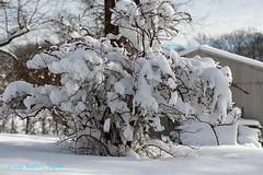 Winter Wonderland in 10 Minutes No 7 (Walt Snyder) Tags: canoneos5dmkiii canonef100400mmf4556l winter 2019 snow snowfall white snowstorm culture spiritual god branches branch winterwonderland bush shrub snowcovered