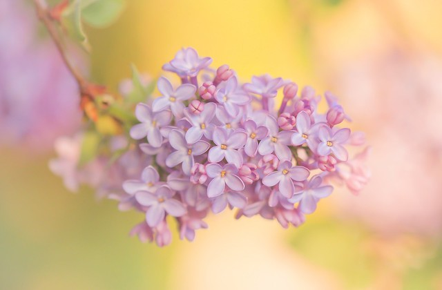 Обои макро, фон, ветка, гроздь, сирень, соцветие картинки на рабочий стол, раздел цветы - скачать