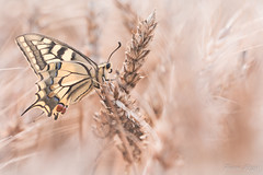 """Un épi de Machaon"" (regisfiacre) Tags: papilio machaon swallowtail lepidoptera papilionidae schwalbenschwanz papillon butterfly schmetterling farfalle insect insecte insekt bug bugs ailes wings nature sauvage wild wildlife macro macrophoto macrophotography macrophotographie canon 5div mark iv 4 plein format full frame sigma 150mm apo ex dg os hsm moselle france"