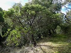 Arctostaphylos sp. MANZANITA (openspacer) Tags: arctostaphylos ericaceae jasperridgebiologicalpreserve jrbp manzanita shrub