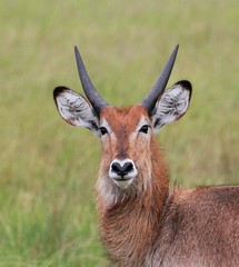 Waterbuck (douwesvincent) Tags: nature uganda oeganda africa world earth eco natural outdoor safari wild open holiday trip birding explore green flora fauna life