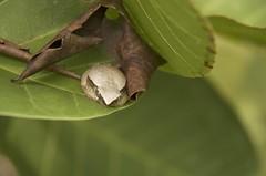 Anura ID help (robertoguerra10) Tags: sapo rã anura batraquio selvagem mata wild