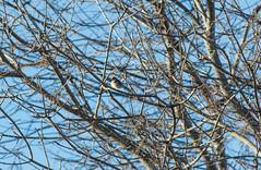 American Goldfinch (Accipiter22) Tags: rockmeadow belmont birding birds animals wildlife