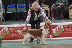 180211_wsscsw_open_154 (evinrisca) Tags: welshspringerspaniel wales chepstow open dogshow welshie spaniel springer welsh dog