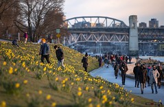 Forge Your Own Path (Clayton Perry Photoworks) Tags: vancouver bc canada winter explorebc explorecanada englishbay daffodils flowers burrardstreetbridge