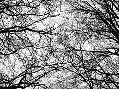Tree Canopy - Morpeth (Gilli8888) Tags: nikon p900 coolpix morpeth northumberland nature blackandwhite trees canopy branches flora
