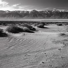 Desert tracks (Kaeurialias) Tags: bw monochrome 120 hasselblad mediumformat 6x6 ilford delta100 ilforddelta100 planarcft2880 carlzeiss 503cx hasselblad503cx film blackandwhite landscape desert ca california usa mountains animaltracks