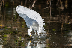 Contortionist (ChicagoBob46) Tags: snowyegret egret bird jndingdarlingnwr florida sanibel sanibelisland nature wildlife naturethroughthelens coth coth5 ngc npc
