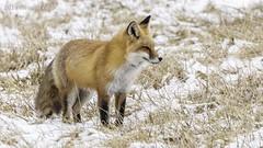 Red Fox in snow IMG_3488 (ronzigler) Tags: wildlife nature mammals animal fox redfox