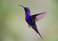 Violet Sabrewing Hummingbird (ToriAndrewsPhotography) Tags: violet sabrewing hummingbird bosque de paz costa rica bird photography andrews tori