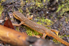 Notophthalmus viridescens, Big South Fork NRRA, Scott County, Tennessee (Chuck Sutherland) Tags: notophthalmusviridescens easternnewt redeft newt salamander fauna animalia chordata amphibia urodela salamandridae notophthalmus nviridescensbigsouthforknrra bsf biso nationalriverandrecreationarea nps bigsouthfork scottcounty tennessee tn