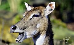 Antilope (hansjrgenknppel) Tags: antilope wildtier natur nikon d 500 nikkor 300mm hansjuergen knueppel