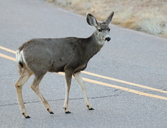 Look Both Ways -- Mule Deer -- Female (Odocoileus hemionus); Albuquerque, New Mexico, Sandia Heights [Lou Feltz] (deserttoad) Tags: mammal animal gameanimal muledeer behavior newmexico nationalforest urban