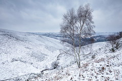Frozen Birch (www.neilporterphotography.com) Tags: silver birch tree dartmoor snow winter cold ice icey devon neil porter photography