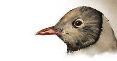 B198-365 one bird a day - Black  Headed Gull - Kokmeeuw (www.doortje.nl) Tags: vogel pájaro uccello passarinho طائر oiseau птица birdo voël 鸟 doortjenl 1tekeningperdagnl