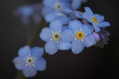 Forget-Me-Nots (San Francisco Gal) Tags: myosotis flower fleur bloom blossom macro forgetmenots blue bokeh ngc