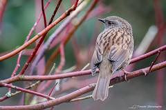 Dunnock  TJS16076 (Trev4 Photography) Tags: birds dunnock trevsphotography