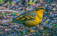Varied Thrush hen--DSC9712--Port Orford, OR (Lance & Cromwell back from a Road Trip) Tags: birds thrush variedthrush lawn lawnbirds portorford currycounty oregon oregoncoast wildlife sony sonyalpha a57 tamron 150600mm tamron150600mmg2