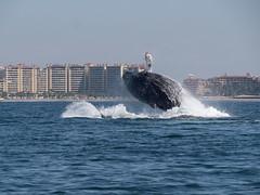P1026725 (nancy1607ca) Tags: mexico puertovallarta humpbackwhale breach ocean whalecalf