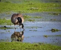 Reflection (Nina_Ali) Tags: canadagoose goose reflection bird water nature fauna canadagoosereflection