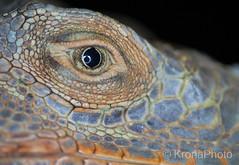 Alligator watching you (KronaPhoto) Tags: macro reptil natur dyr alligator crocodile zoo norway reptilparken dof makro