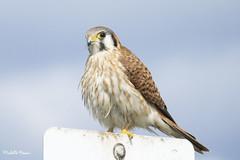 I have my eye on you! (lamoustique) Tags: americankestrel falcosparverius crécerelledamérique ridgefieldnwr ridgefield washington usa