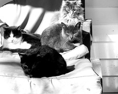 Four Cats (joeldinda) Tags: olympus omdem1mkii em1 omd em1ii 2019 home mulliken potter porch cat kitty gato chat feral outdoorcat chair interior furniture footstool ottoman 4512 march 81365