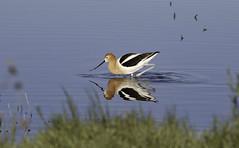 Avocet (raineys) Tags: avocet bird nature wildlife california specanimal