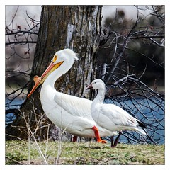 We Can Walk Together (garywitte845) Tags: americanwhitepelican pelican pelicanspelecanidae whitepelican snowgoose birds waterbird goose white spring wildlife