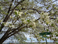 Street Signs And Dogwood Tree. (dccradio) Tags: lumberton nc northcarolina robesoncounty outdoor outdoors outside tree trees branch branches treebranch treebranches march spring springtime sunday morning sundaymorning goodmorning flower floral flowers flowering floweringtree dogwood dogwoodtree pretty beauty beautiful scenic bloom bloomingblossom blossoming sony cybershot dscw830 treelimb treelimbs wires lines powerlines powerwires utilitywires utilitylines electricwires electriclines