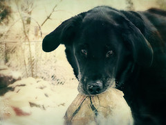 Photo Series: Pets: Do you want to play ball? (Ken Whytock) Tags: dog blackdog play ball snow outside pet drumbo canada