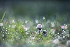 A fresh Start (ursulamller900) Tags: helios442 daisy gänseblümchen mygarden bokeh dew morningdew