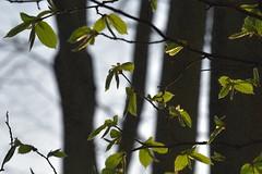 Erstes Hainbuchengrün (Carpinus betulus; Bergenhusen, Stapelholm.JPG (5) (Chironius) Tags: stapelholm bergenhusen schleswigholstein deutschland germany allemagne alemania germania германия niemcy baum bäume tree trees arbre дерево árbol arbres деревья árboles albero árvore ağaç boom träd rosids fabids buchenartige fagales birkengewächse betulaceae haselnussgewächse coryloideae hainbuchen carpinusbetulus gegenlicht