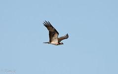 Un pêcheur (milvus09) Tags: balbuzardpêcheur pandionhaliaetus westernosprey accipitriformes pandionidés