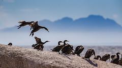 Grands Cormorans (gilbert.calatayud) Tags: oiseau bird pajaro cormoran grand phalacrocorax carbo great cormorant phalacrocoracidés suliformes grande peninsule du cap boulders beach afrique sud