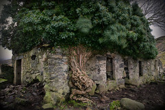 Bobblehat cottage (PentlandPirate of the North) Tags: bobblehat snowdonia northwales ivy ruin derelict cottage