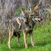 Pair of Coyotes Playing in Santa Teresa County Park