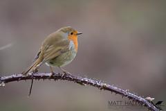 Robin (Matt Hazleton) Tags: robin erithacusrubecula bird wildlife nature outdoor animal canon canoneos7dmk2 canon100400mm 7dmk2 eos 100400mm matthazleton matthazphoto northamptonshire