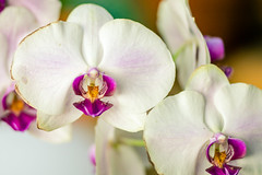 Wilting Orchid (rg69olds) Tags: 12092018 85mm canoneos5dmarkiv lauritzengardens nebraska canon flower omaha plant plants sigma sigma85mmf14artdghsm orchid wilting wilt flowers white purple petals indoor 85mmf14dghsm|a