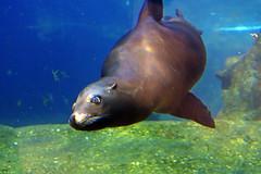 kalifornischer Seelöwe (Michael Döring - thx for 20.000.000 views) Tags: gelsenkirchen bismarck zoomerlebniswelt zoo kalifornischerseelöwe seal afs2470mm28g d850 michaeldöring