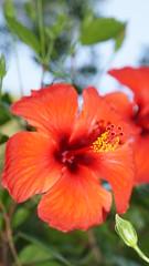 2015-06-12_14-21-13_ILCE-6000_DSC08177 (Miguel Discart (Photos Vrac)) Tags: 2015 90mm e1670mmf4zaoss fleurs flowers focallength90mm focallengthin35mmformat90mm hotel ilce6000 iso100 sony sonyilce6000 sonyilce6000e1670mmf4zaoss turquie vacance