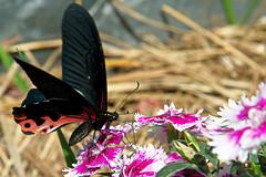 Großer Mormone / great Mormon (Papilio memnon) (uwe125) Tags: tier insekt schmetterling animal insect butterfly kleiner small blüte nektar nectar blossom nepal mormone groser