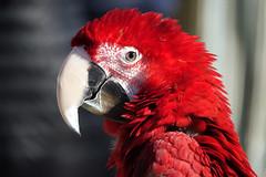 Perroquet (hans pohl) Tags: portugal azeitao setubal oiseaux birds animals animaux nature