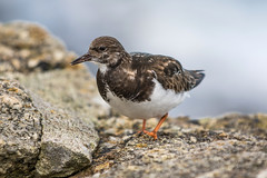 Turnstone in St Ives, Cornwall (baldychops) Tags: bird turnstone nature natural rock rocks outdoor stives cornwall sea seaside beach visit visitor